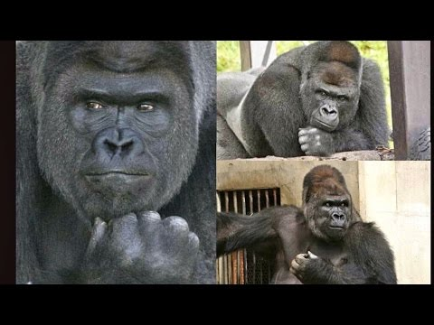 "Japanese Women Love ""The Handsome Gorilla"""