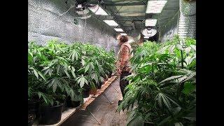 Des plants de cannabis thérapeutique testés en Creuse