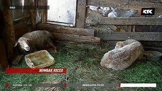 СҚО-да мал қырылып жатыр / 16.07.2018