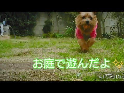 ノーフォークテリア  アリシア、お庭で遊んだよ✨リゼは? #NorfolkTerrier  #犬