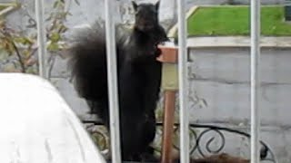 Part 2: Nervous squirrel buries peanut in my flower box!!!