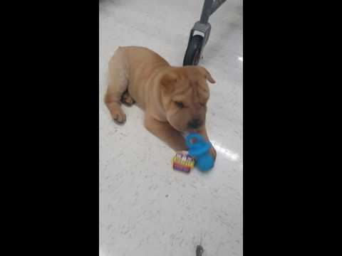 Shar Pei Puppy - Mushu's First Toy