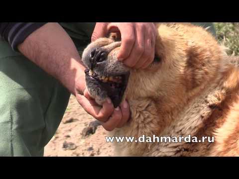 видео: Матерые саги дахмарда из разных районов Таджикистана