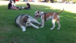 Alaskan Malamute playing with young Australian Bulldog