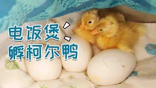 【电饭煲孵柯尔鸭】28天手剥柯尔鸭Vs.30天顺产小鹅