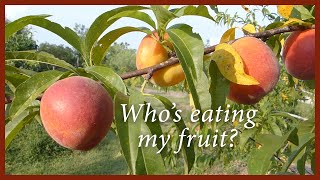 Harvesting Nectarines in an Organic Orchard: Who's picking at my fruit?