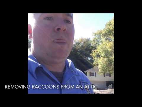Raccoon Removal In Omaha, Council Bluffs - Genuine Pest & Wildlife Control