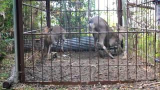 檻罠にかかった鹿の仕留め方 thumbnail