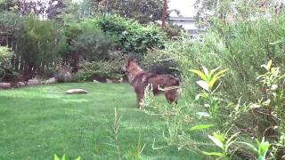 Pogo After Bathee - German Shepherd Chow Mix Dog