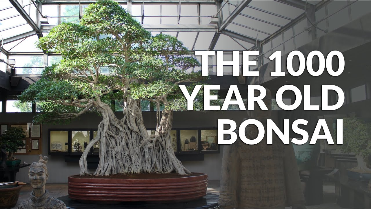 Top 5 Oldest Bonsai Trees Bonsai Empire