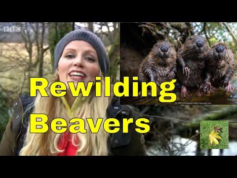 Rewilding: Beavers and flood prevention.