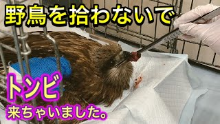 【雛や野鳥を拾わないで】トンビが来ちゃって獣医師も看護師も総動員。