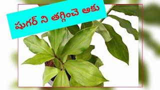 షుగర్ ఉన్న వారు రోజు తినవలసిన ఆకు#Insulin plant for Diabetes#Reduce your sugar level by this leaves