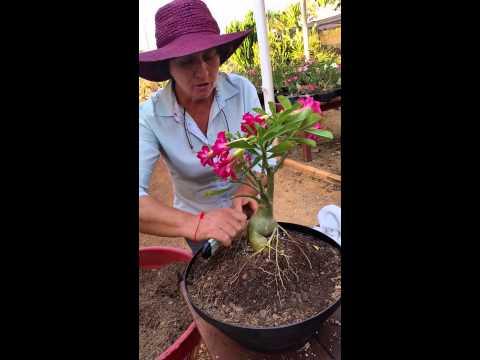 Trailer do filme Flor do Deserto