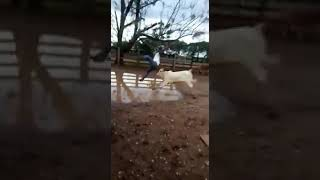 Boi nolore ataca homem