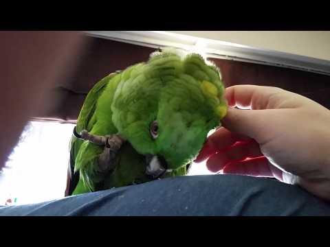 Helping Rio the Amazon Parrot with Pin Feathers