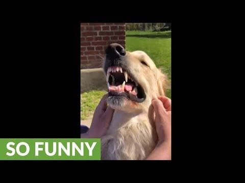 "Golden Retriever ""smiles"" every time he gets pet"