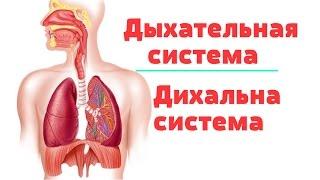 Видео-урок по анатомии. Дыхательная система / Дихальна система
