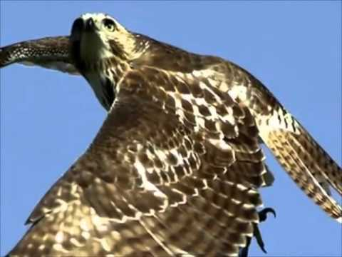 Red Tailed Hawk Youtube