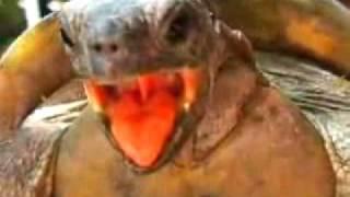 Kilpikonnan orgasmi.flv