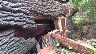 Exploding Oak Tree