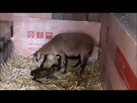 Schafe - Kamerunschafe Geburt - ein Lamm wird geboren - cameroon sheep - a lamb is born
