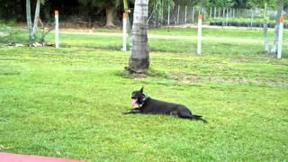 Miami Dog Training - Dutch Shepherd - Chimay - Obedience ,k9 Enforcement