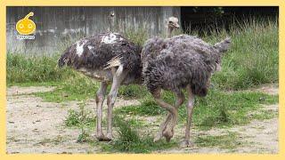 お散歩するダチョウ 東武動物公園 Struthio camelus