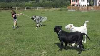 """Maya """"trying"""" To Walk The Barn Dogs...with Leashes...(completely Foreign Concept For Them)."""