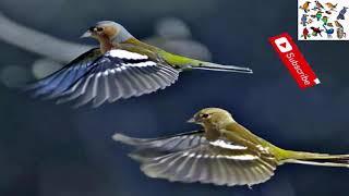 صوت طائر السلنج ( الصلنج أو الشرشور )جودة عالية 2020 - canto pinzón