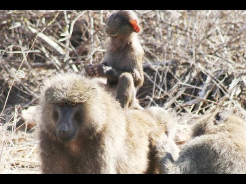 MONKEYS & APES (Baboons/Chimps/Vervets)