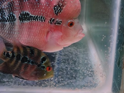 how to breed flowerhorn fish at home | FunnyDog.TV