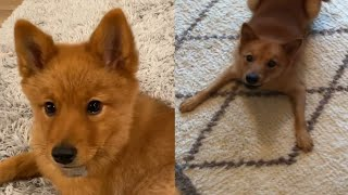 FINNISH SPITZ CUTE MOMENTS 2020