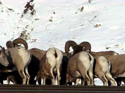 Local bighorn sheep herd