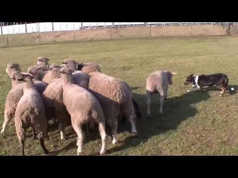 Dog chasing sheep at motherfarm