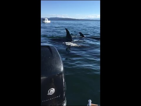 Killer whales hunting seal that jumps into boat (combined video)