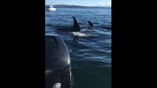 Killer whales hunting seal that jumps into boat (combined video)(We were out with the family looking for whales and a pod of 12 trainsiet killer whales where chasing the seal. It ripped towards the boat in a desperate escape ..., 2016-08-23T18:24:14.000Z)