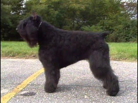 Bouvier Des Flandres - Boyero De Flandes - ブービエ・デ・フランダース - AKC Dog breed series