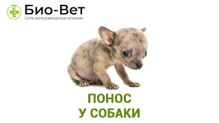 Понос у собаки. Ветеринарная клиника Био-Вет.