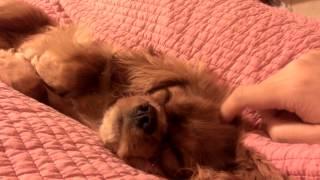 Yuzu Cavalier King Charles Spaniel Sleeping Between My Legs