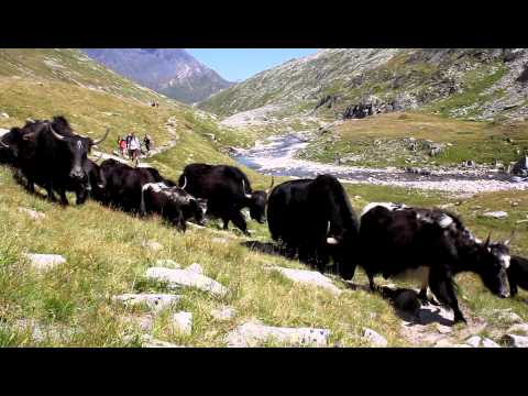 Transumanza di Yak in Val Cadlimo (11.8.2011, ore 15:20)
