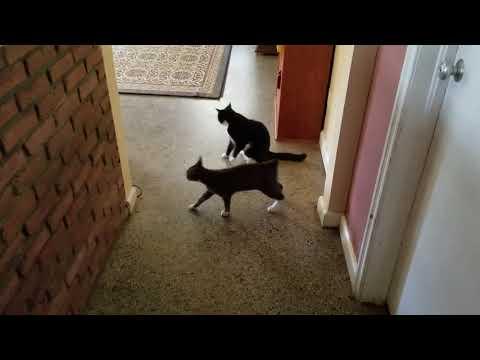 Bob the Manx kitten body slams big old Shift (cat)
