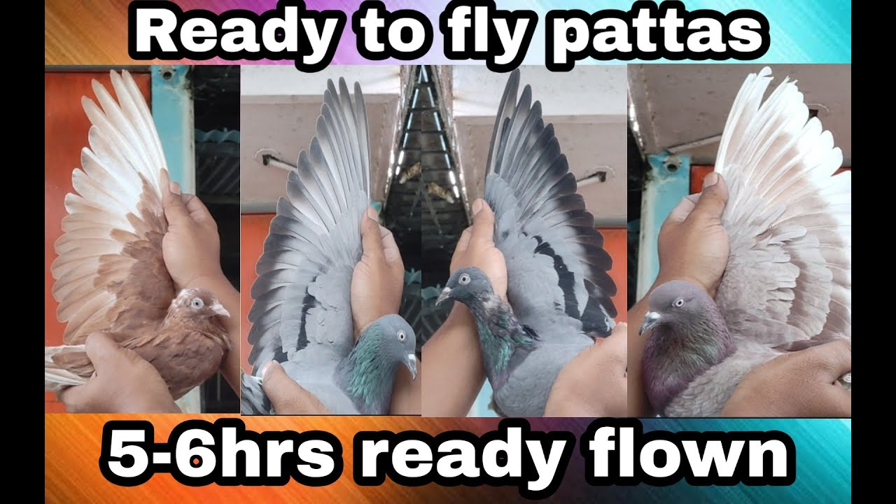 Ready to fly pattas for Tournament 7899984001