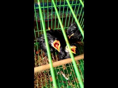 Cách chọn chim Nhồng con
