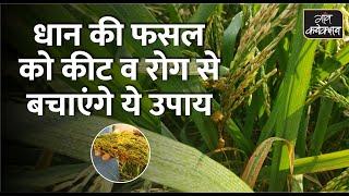 धान की फसल को कीट व रोग से बचाएंगे ये उपाय ||  Insect and Pest Control in Paddy