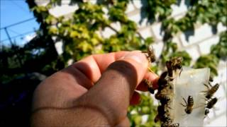 Пчеловодство Еще рой 29 августа Beekeeping another swarm of August 29(, 2014-08-31T18:16:34.000Z)