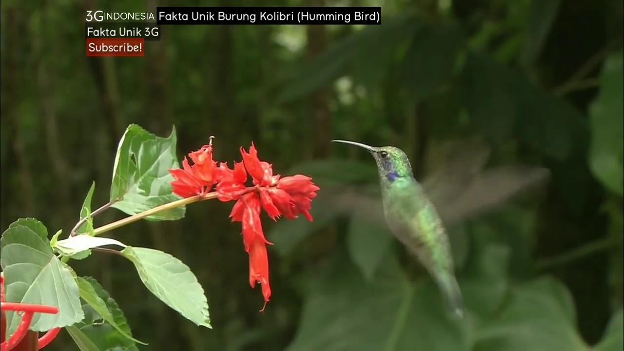 Fakta Unik Burung Kolibri Humming Bird Youtube
