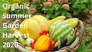 Organic Summer Garden Harvest 2020 // Australia // Y2 W 6