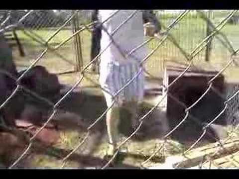 Pet Capuchin monkeys in enclosure