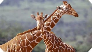 ZOOTOPIE : des vrais animaux aux personnages numér...